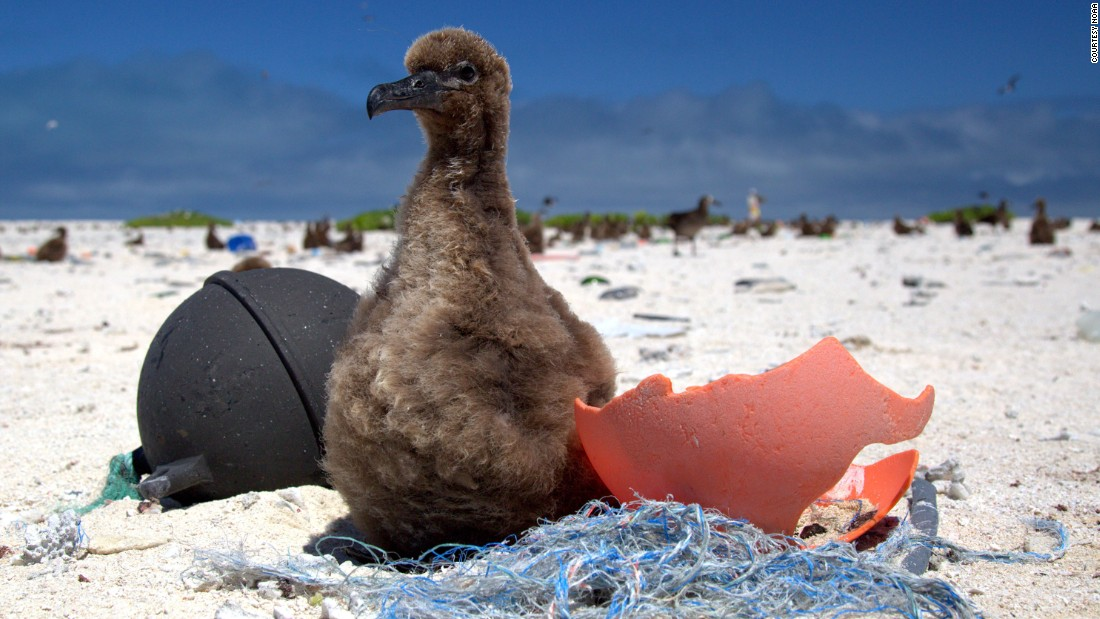 "Plastic pollution in the ocean is a massive -- and growing -- problem. Midway Atoll, a remote island situated on the edge of the Great Pacific Garbage Patch, is covered with plastic debris swept onto its beaches by oceanic currents. This Laysan albatross chick is being fed pieces of plastic by its parents, which mistake the waste for food. Seabirds which ingest plastic waste are <a href=""https://edition.cnn.com/2019/07/30/health/seabirds-plastic-pollution-health-problems-scli-intl/index.html"" target=""_blank"">smaller, lighter and suffer from a litany of health problems</a>. Plastic waste kills up to <a href=""https://sustainabledevelopment.un.org/content/documents/Ocean_Factsheet_Pollution.pdf"" target=""_blank"">one million seabirds</a> every year."