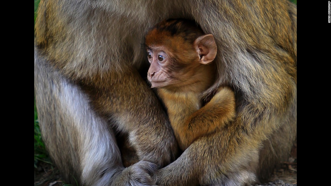A baby macaque rests in his mother's lap at the Tbilisi Zoo in Tbilisi, Georgia, on Tuesday, November 15. France's Auvergne Zoo donated nine monkeys after the Tbilisi Zoo lost all of its monkeys in flooding last year.