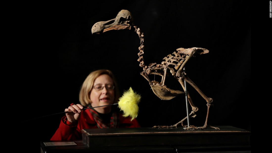 A dodo skeleton is touched up at an auction house in Billingshurst, England, on Thursday, November 17. It's the first dodo skeleton to come up for sale in 100 years, and it is expected to fetch up to 500,000 pounds ($620,775). The dodo, a flightless bird, went extinct in the 17th century.