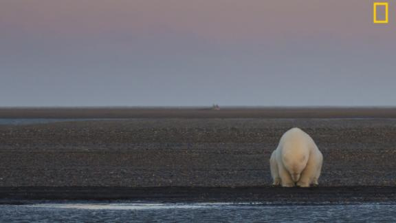 "The ""Climate Change -- In Focus"" exhibition shows the effects of climate change.  Pictured: A solitary bear sits on the edge of one of the Barter Islands, Alaska. There is no snow, when at this time of year, there should be,"" wrote photographer Patty Waymire. Via National Geographic Your Shot"