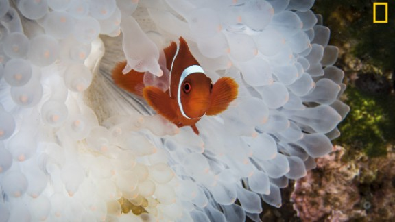 "The exhibition shows the best 100 photographs from a global competition. ""On a recent trip to Indonesia we were saddened to see the huge number of bleached anemones. We expected to see some coral bleaching, but we were surprised by how many anemones were also becoming victims to rising ocean temperatures,"" wrote photographer Diana Paboojian. Via National Geographic Your Shot"
