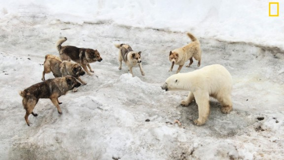 "Photo: Vladimir Melnik, Russia: ""I was in expedition exploring Franz Josef Land archipelago. There was a polar station where people brought dogs as guards against polar bears. The summer is difficult time for bears. In recent years warming in Arctic resulted in loss of sea ice which is critically important for bears as they can hunt only from ice. The bears which stay on the islands doomed to meager ration and go to human settlements,"" wrote Melnik. Via National Geographic Your Shot"