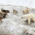 polar bear dogs restricted use