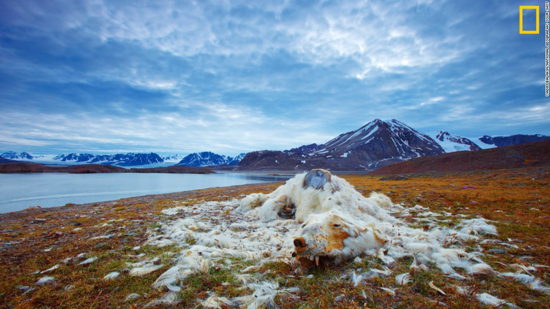 "Photo: Vadim Balakin, Russia: ""These polar bear remains have been discovered at one of the islands of Northern Svalbard, Norway. While it is not certain whether the polar bear died from starvation or old age, the good condition of its teeth indicate that it is most likely from starvation,"" wrote Balakin. <em>Via National Geographic Your Shot</em>"