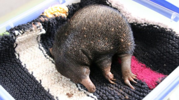 Echidna puggles sleep...a LOT.