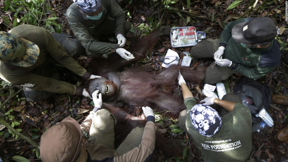 <strong>January 5: </strong>Conservationists examine a tranquilized orangutan during a rescue-and-release operation in Sungai Magkutub, Indonesia. Orangutans were being relocated after they lost their habitat to forest fires in 2015.