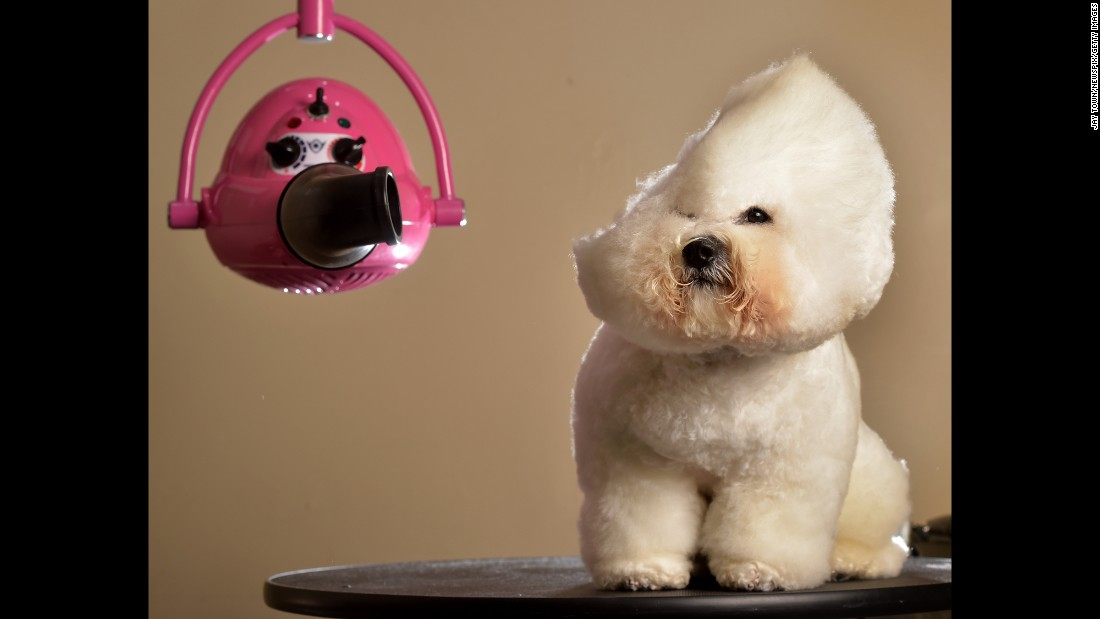 <strong>April 14:</strong> Dash, a bichon frise, gets a makeover from Melanie Newman, a dog groomer in Melbourne.