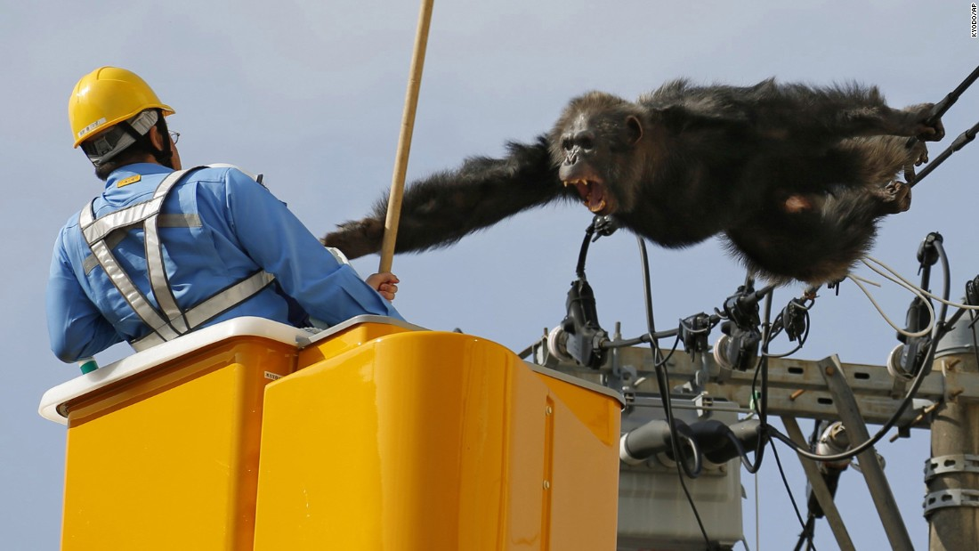 <strong>April 14: </strong>A chimpanzee screams at a worker in Sendai, Japan, after it climbed an electric pole to avoid being captured. The chimp escaped from a zoo in Sendai and was on the loose for nearly two hours.