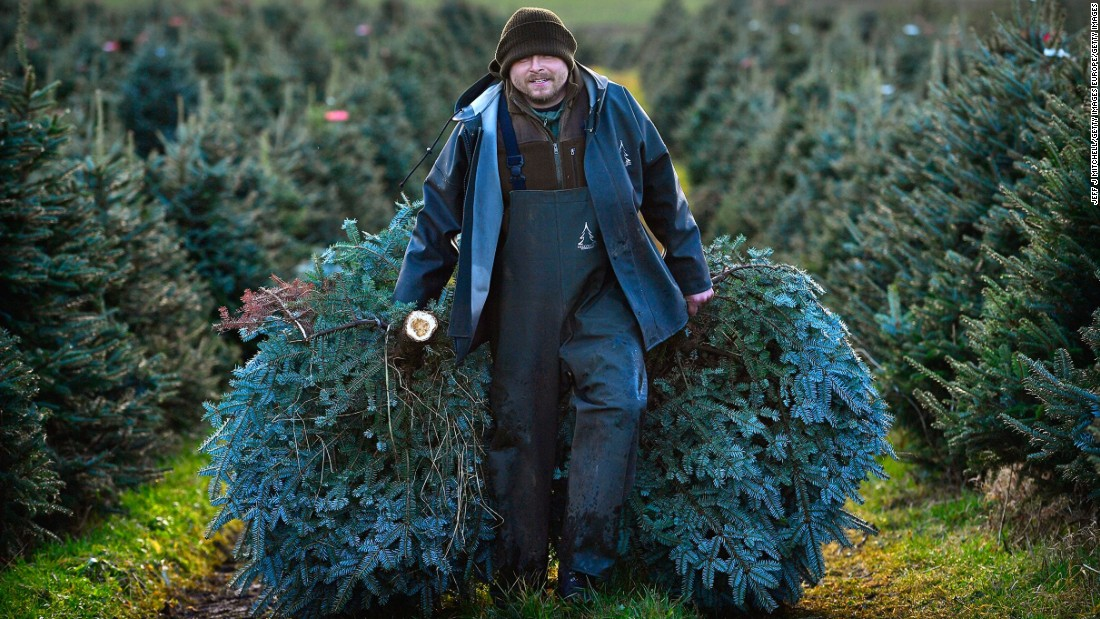 "A estimated eight million real Christmas trees are sold in the UK each year. In the United States that figure <a href=""http://blogs.usda.gov/2015/12/17/deck-the-halls-with-holiday-data/#more-62468"" target=""_blank"">was 20 million in 2014</a>, according to the US Department for Agriculture."