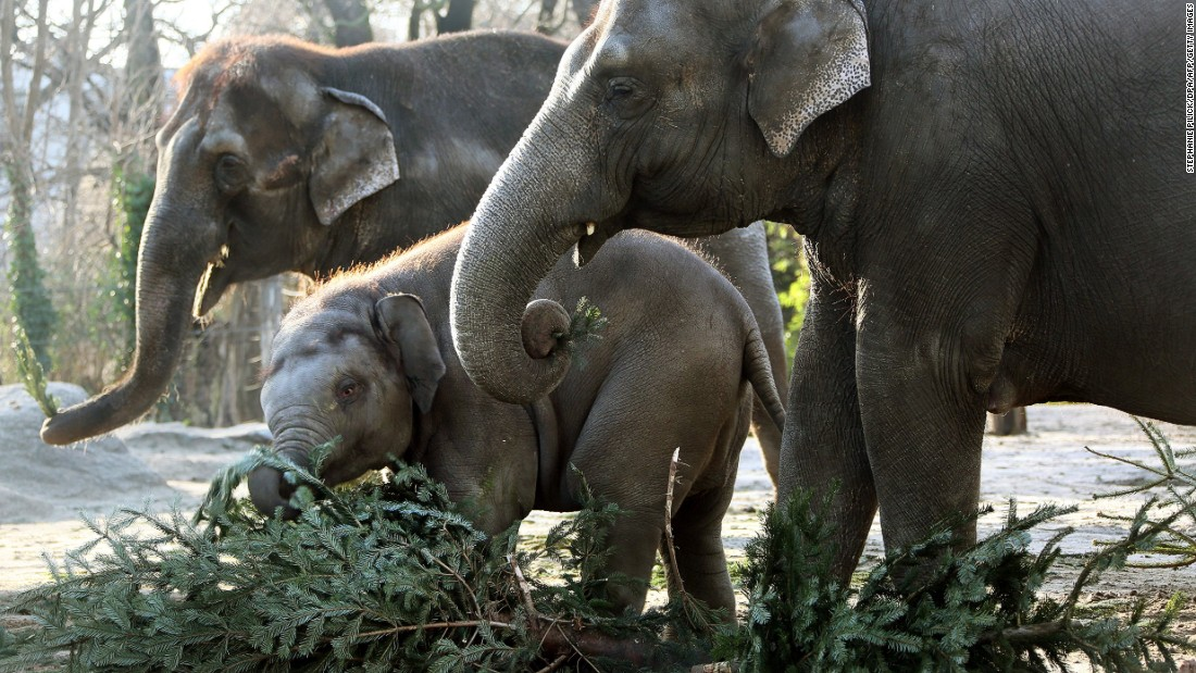 Elephants at Germany's Berlin Zoo feed on leftover Christmas trees.
