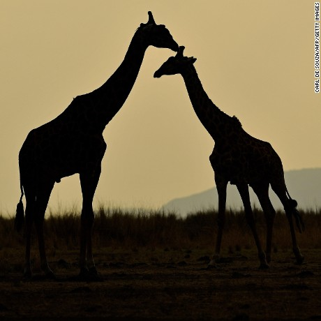 TOPSHOT - Giraffes stand together during the annual wildebeest migration in the Masai Mara game reserve on September 12, 2016. / AFP / CARL DE SOUZA        (Photo credit should read CARL DE SOUZA/AFP/Getty Images)