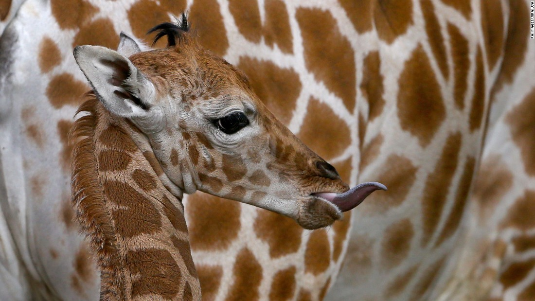 "A 1-week-old giraffe calf stands next to its mother at the Port Lympne Wild Animal Park in Kent, England, on Thursday, December 8. Giraffe populations have fallen by up to 40% over the last 30 years and the International Union for Conservation of Nature <a href=""http://www.cnn.com/2016/12/08/world/iucn-red-list-giraffe-endangered-trnd/index.html"" target=""_blank"">said on Thursday</a> that giraffes are now considered to be at high risk for extinction. <a href=""http://edition.cnn.com/2016/12/08/world/sutter-giraffe-extinction/index.html"" target=""_blank"">Imagine a world without giraffes</a>"