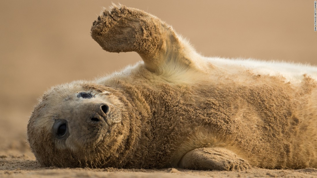 A gray seal pup rolls on the sand near the Donna Nook Nature Reserve in Lincolnshire, England, on Monday, December 5.