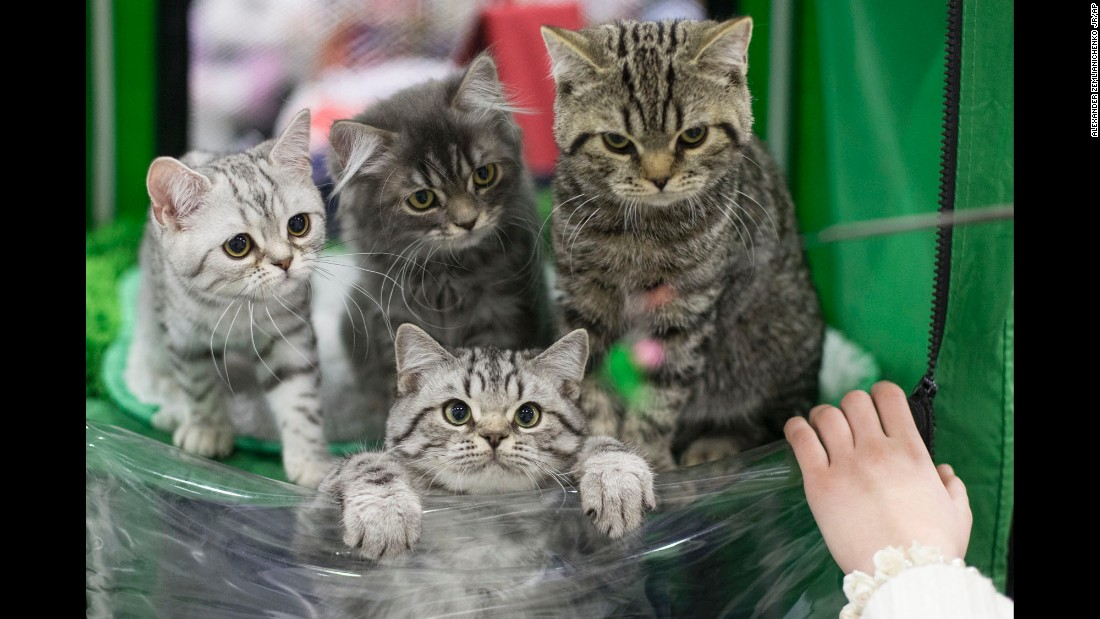 A group of cats wait for evaluation by a judge during a cat show in Moscow on Sunday, December 4.