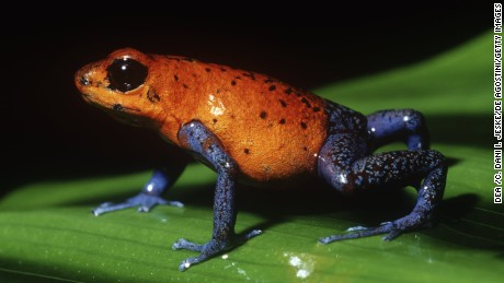 The strawberry poison dart frog is sometimes called the blue jeans frog.