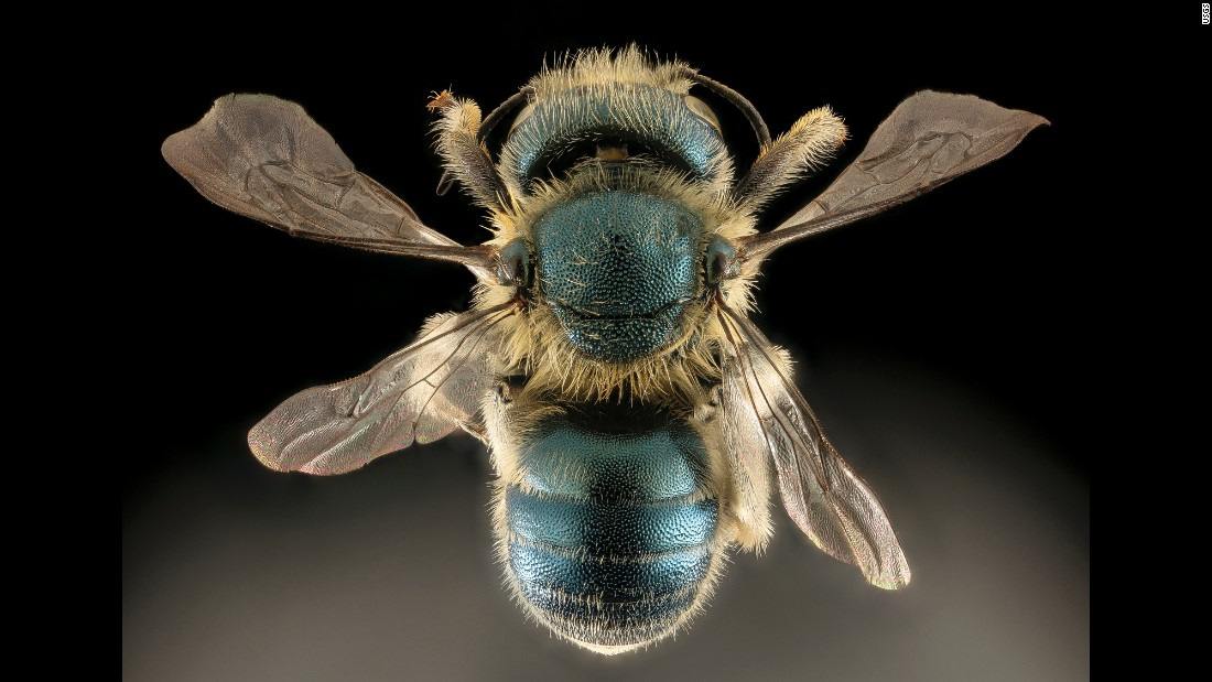 """This beautiful blue bee nests in snail shells,"" writes Droege. The Osmia conjuncta specimen comes from Maryland."