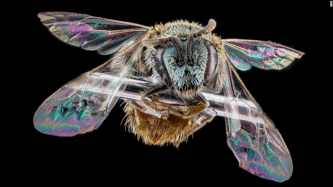 This bee with iridescent wings was collected in Michigan.