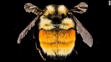 https://www.flickr.com/photos/usgsbiml/14556983259/in/photolist-obmkXZ  Bombus ternarius, F, Back, NY, Franklin County_2014-07-01-16.18.08 ZS PMax   Some yellow and orange tushiness from a Bombus ternarius taken during the Adirondack Bioblitz. In most of New England the only Bumble Bee with significant orange and yellow on its abdomen. Photoshoping by Thistle Droege photograph by Dejen Mengis.
