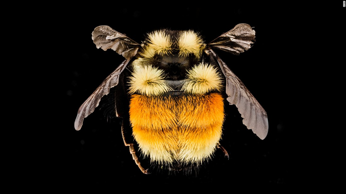 "Bombus ternarius -- a bumblebee -- was collected in Franklin County, New York. ""In most of New England, the only Bumble Bee with significant orange and yellow on its abdomen,"" Droege writes."