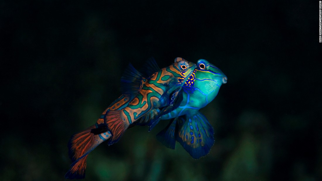 Of the world's 64,000 vertebrates, this Mandarin Fish along with the Psychedelic Fish are the only two with blue pigment. Other vertebrates that appear blue have layers of crystals that reflect light at shorter wavelengths to create a structural color.