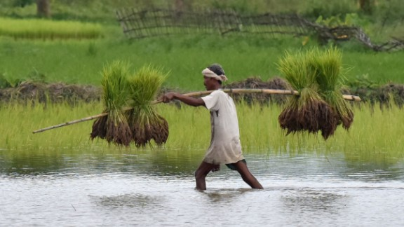 An Indian tribal farmer carries paddy seedlings in Assam.