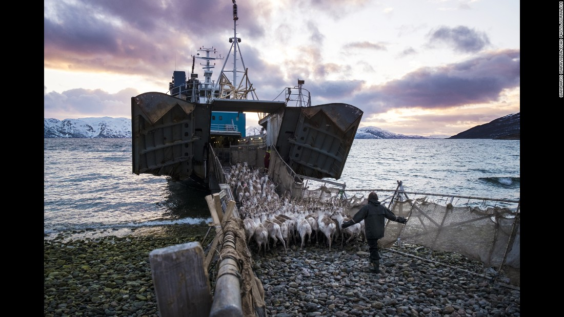A herd of reindeer is moved onto a boat near Alta, Norway. Because of food shortages, the reindeer are often transported to nearby islands that have more food, according to photographer Gianmarco Maraviglia. Maraviglia traveled with the Reindeer Police, a unit that patrols Norway's northernmost counties.