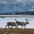 07 cnnphotos Reindeer Police RESTRICTED