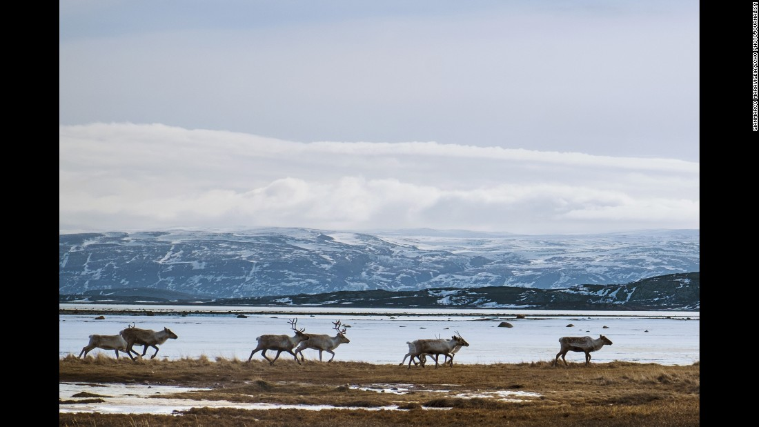 Reindeer look for food near Lakselv, Norway.