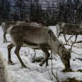 09 cnnphotos Reindeer Police RESTRICTED