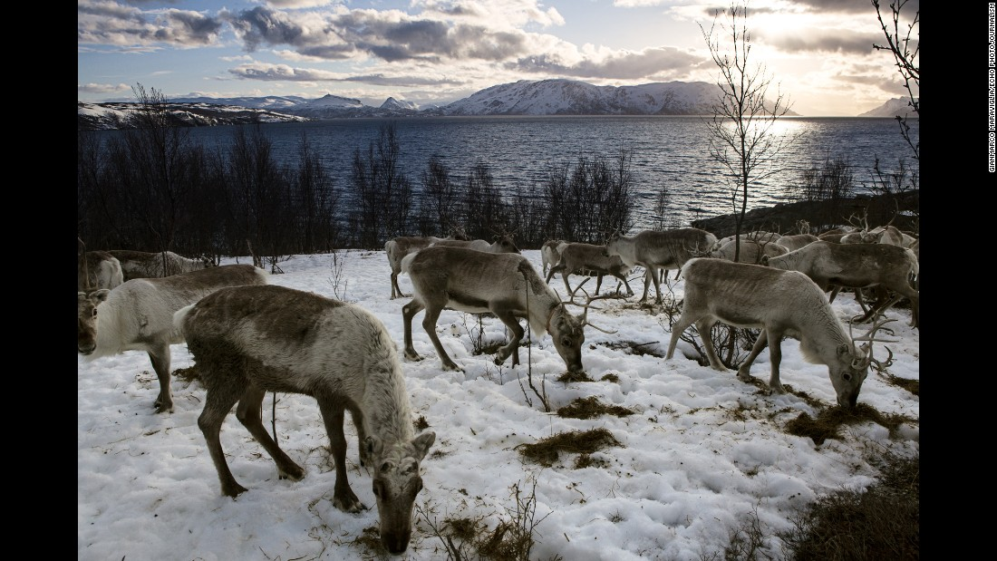 Reindeer wait for a boat that will bring them to an island where food is more plentiful.