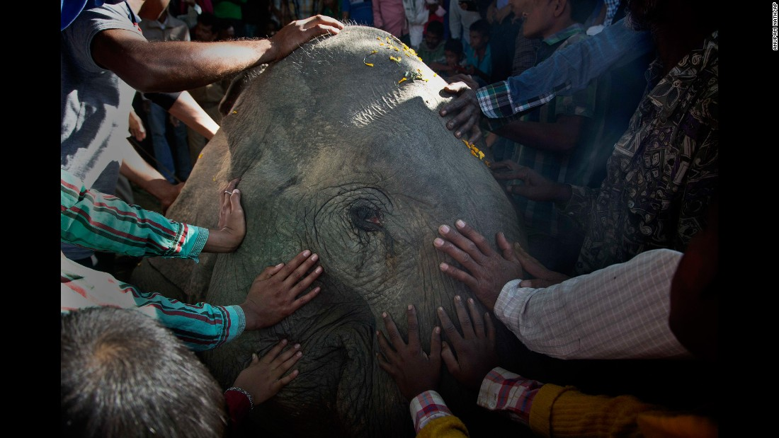 Villagers touch one of the three elephants that were fatally struck by a speeding train in India's Assam state on Saturday, December 17.