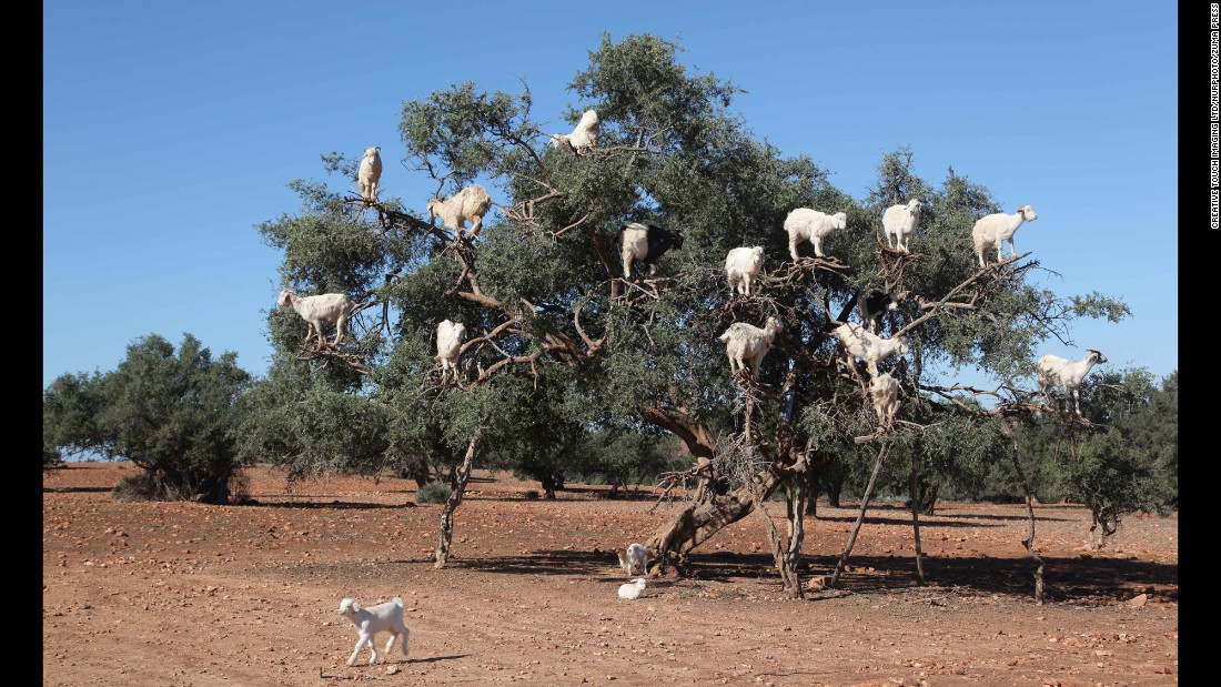 Tree-climbing goats feed in an argan tree in Essaouira, Morocco, on Saturday, December 17.