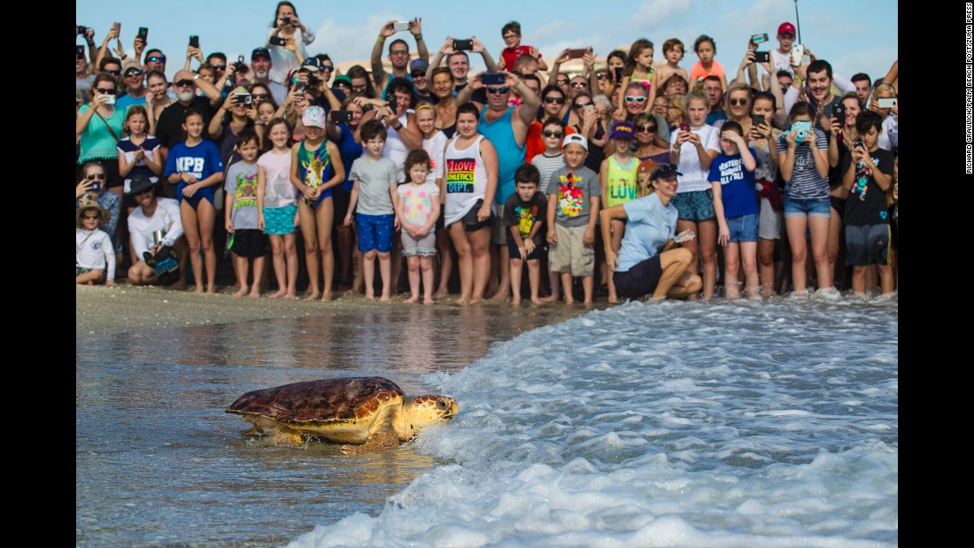 Nicklen, a loggerhead sea turtle which received care at the Loggerhead Marinelife Center in Juno Beach, Florida, is cheered on by the crowd during its release on Tuesday, December 27. Nicklen was found floating in the Jupiter Inlet last October.