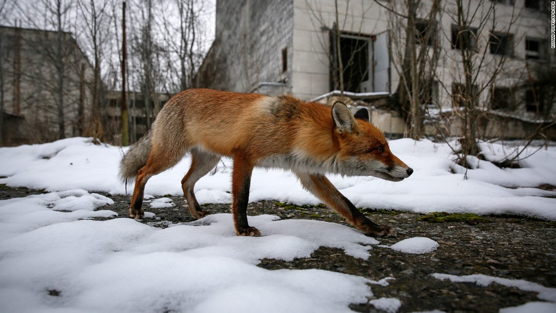A wild fox walks in the snow in the deserted city of Pripyat, Ukraine, near the Chernobyl nuclear power plant on Thursday, December 22.