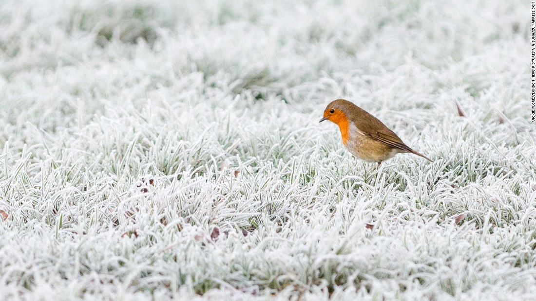 A robin sits on frozen frost-covered ground in Horsham, England, on Tuesday, December 27.