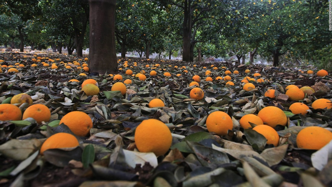 Oranges litter the ground of a plantation near the West Bank city of Nablus on Thursday, December 15, after the region was hit by heavy storms.