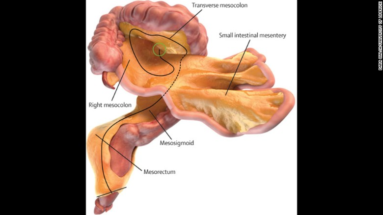 The Mesentery A New Organ You Didnt Know You Had Cnn