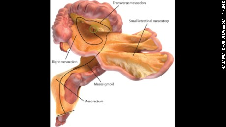 The mesentery: A 'new' organ you didn't know you had