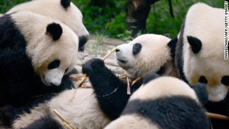 This picture taken on September 9, 2016 shows a group of pandas eating bamboo at the Chengdu Research Base of Giant Panda Breeding in China's Sichuan province.