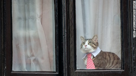 A cat looks out of the Ecuadorian Embassy on November 14, 2016, in London.