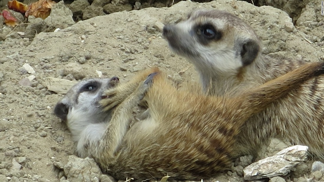 """Meerkats, my favorite animal,"" says the Spanish Toro Rosso driver. ""It's a shame I travel so much -- I'd love to have one as a pet!"""