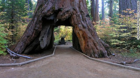 one of california s famous drive through trees toppled by winter