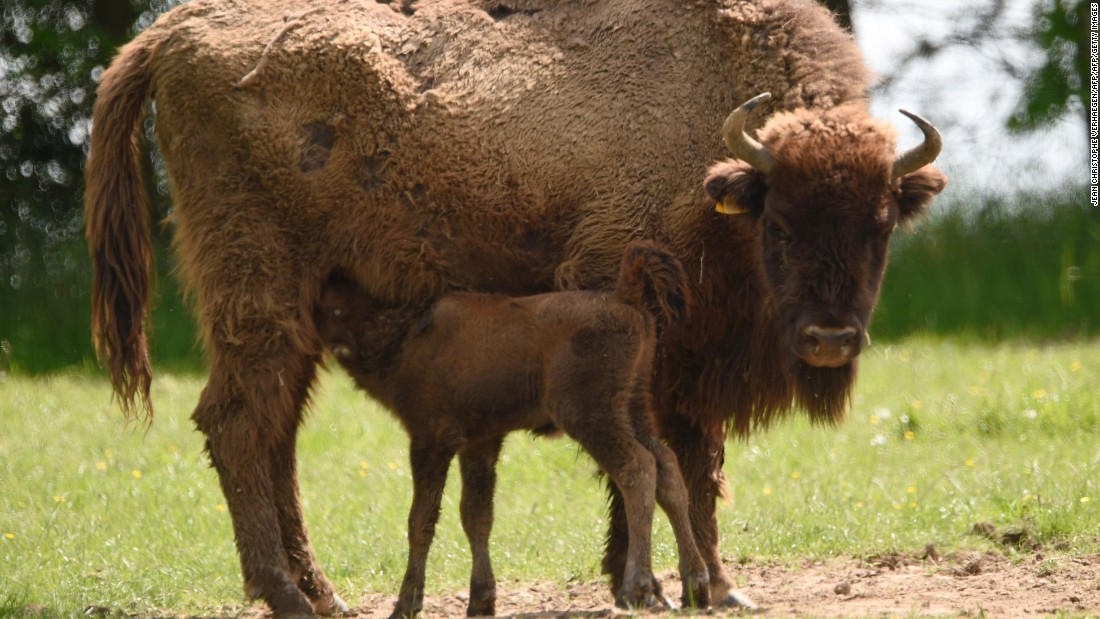Opponents of 're-wilding' schemes are concerned that introducing a species could imbalance an ecosystem, but other bovines such as bison have been successfully re-wilded in the US and Europe.