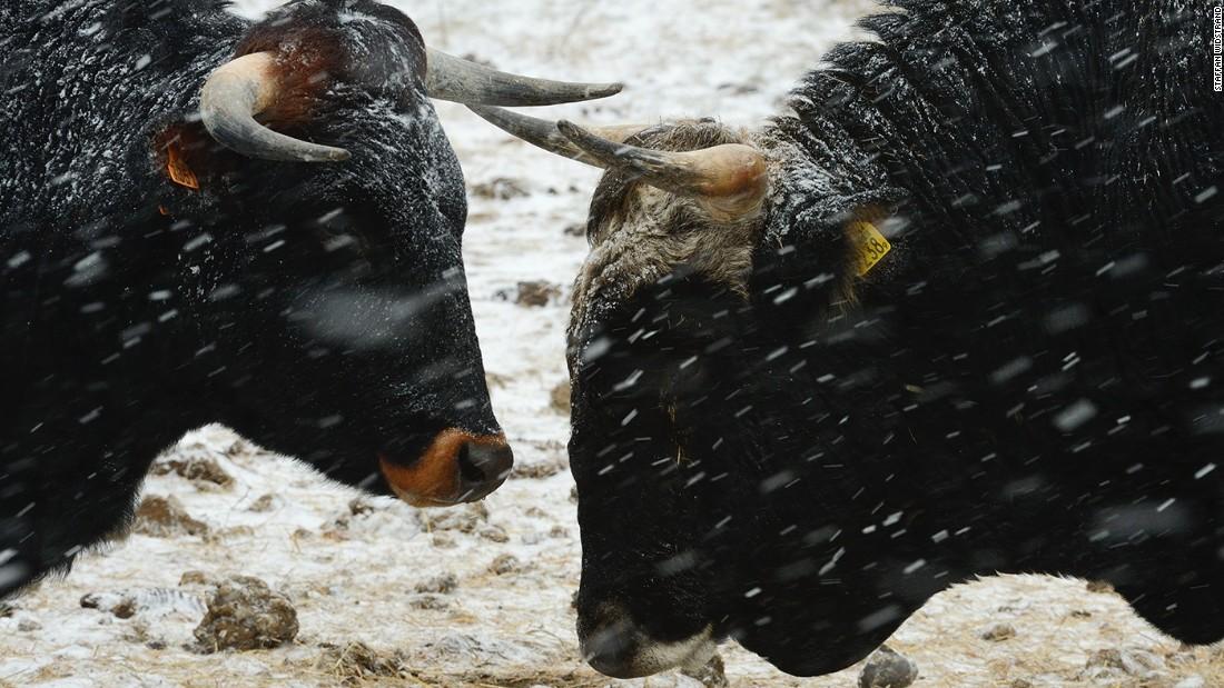 wild supercows return to europe cnn