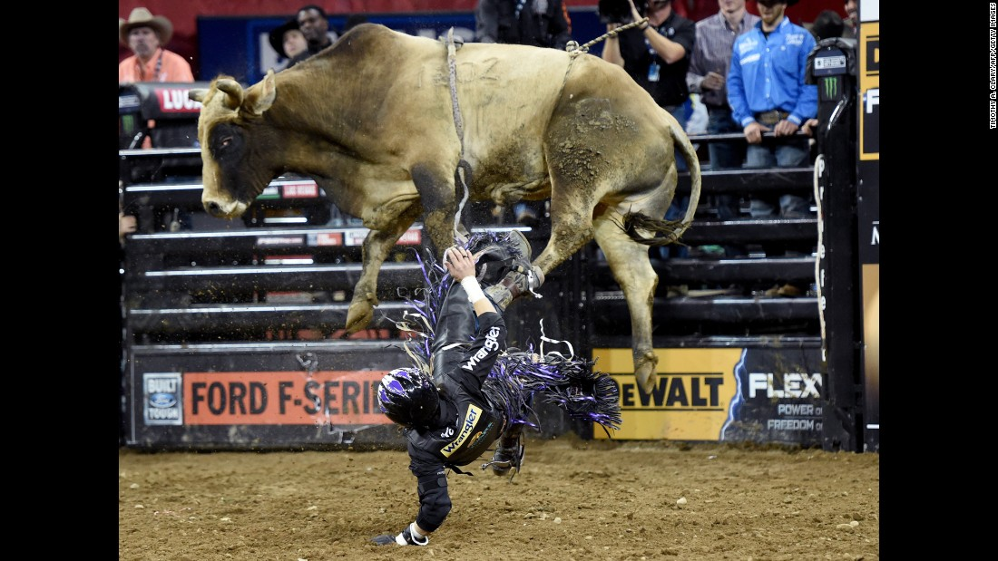 Stetson Lawrence falls off a bull during a Professional Bull Riders event in New York on Friday, January 6.