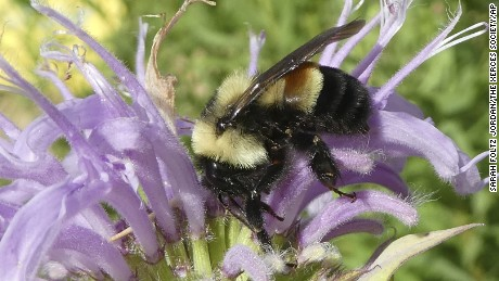 The rusty patched bumblebee lives in 13 states and one Canadian province.