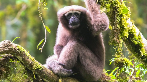 There are thought to be less than 200 endangered Skywalker gibbons in China.
