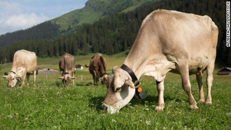 Swiss cows wearing bells