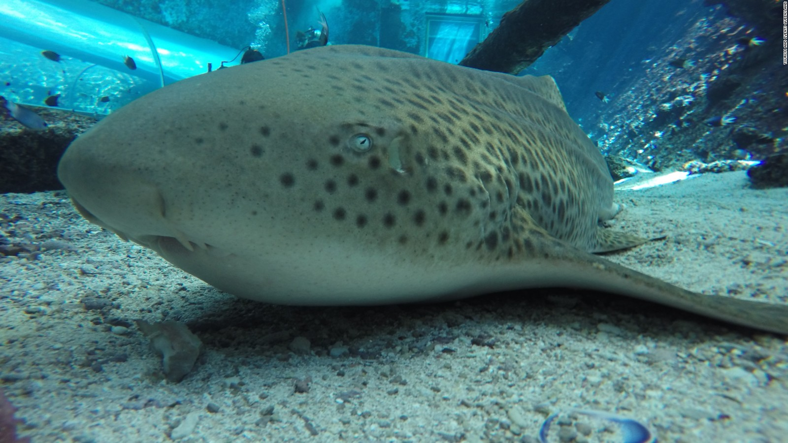 Shark in captivity gives 'virgin birth'
