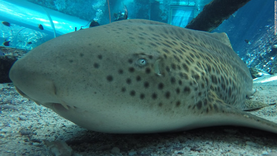 Zebra shark surprises scientists after giving birth ...